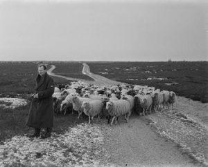 Het schapenkampje op de Westerheide