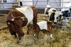 Koeien hebben eigen museum in het Westfriese Aartswoud