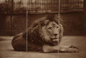 Na 200 leeuwen raakt Artis 'koning van de jungle' kwijt