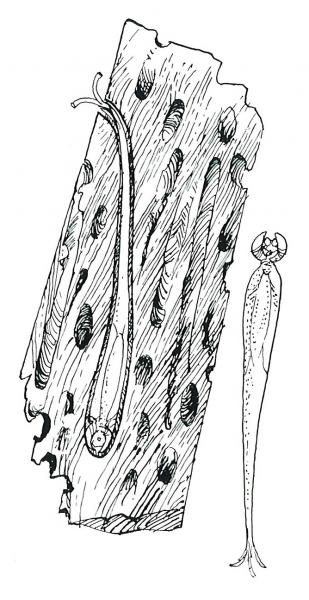 Paalworm (tekening H. Tol)