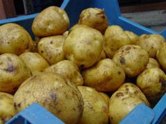 De aardappel van Opperdoes.