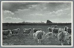 Texelse schapen.