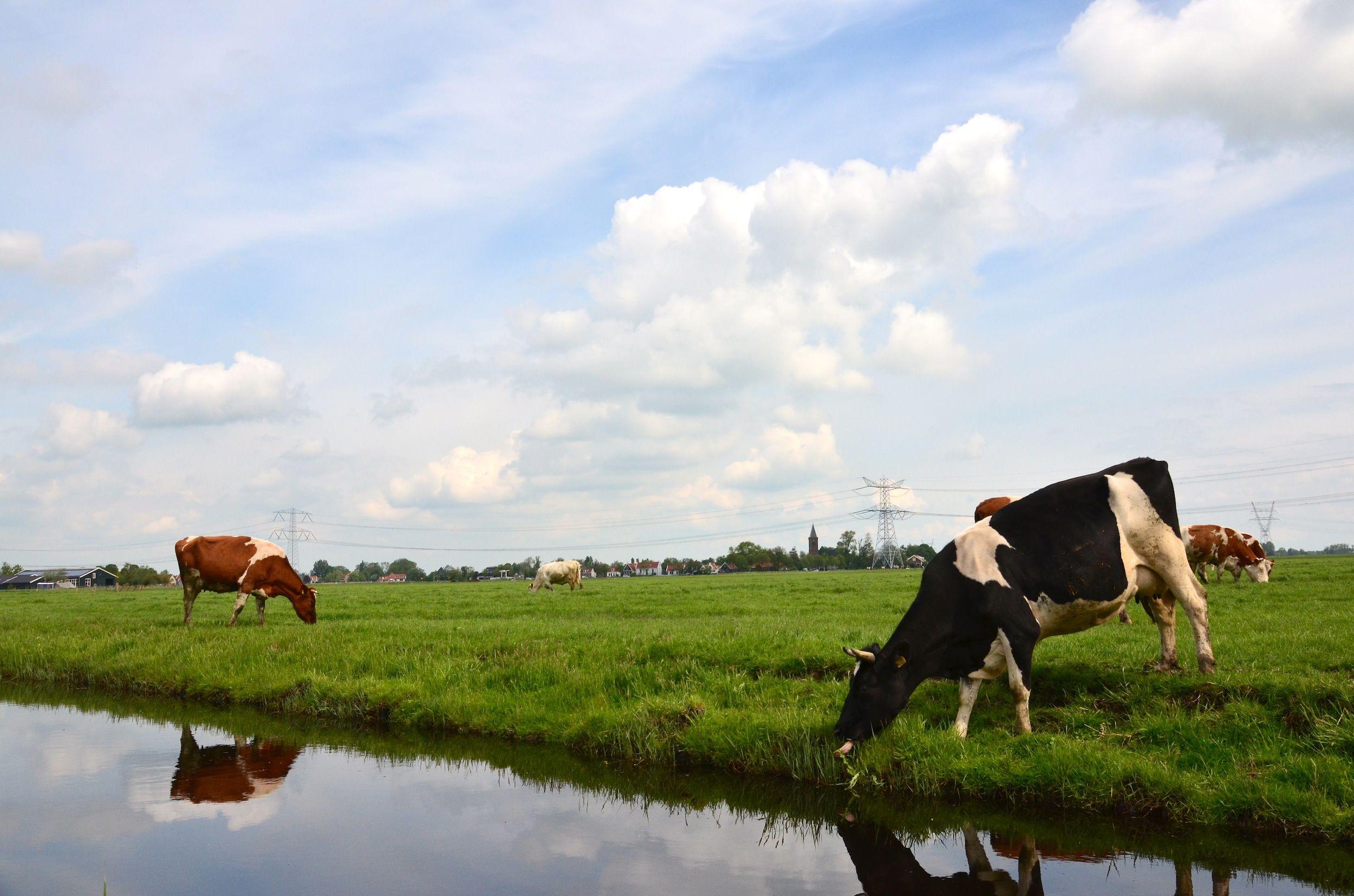 Koeien bij Zunderdorp.