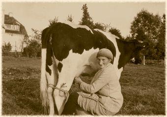 Koeien melken.