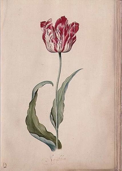 Tulpenaquarel De vroege Brabantsson