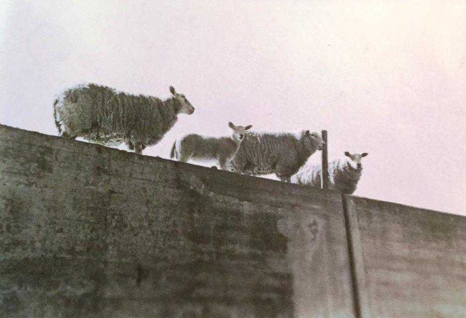 De keermuur op de Helderse zeedijk met schapen, jaren vijftig.