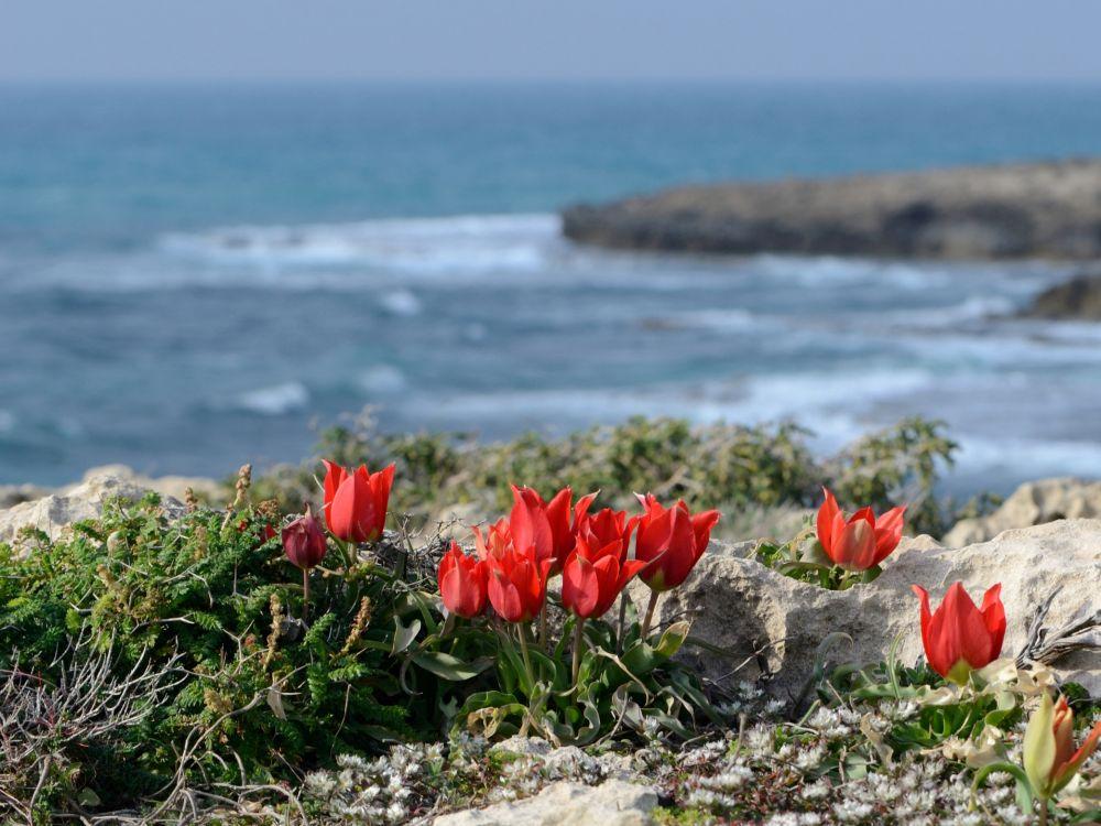 Wilde tulp