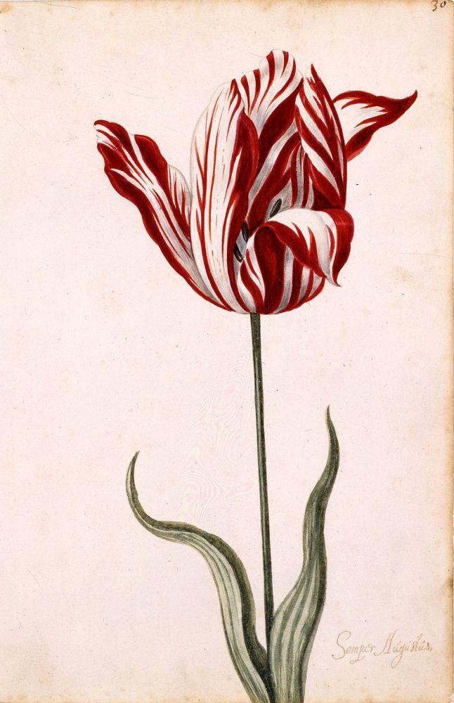 Semper Augustus tulp