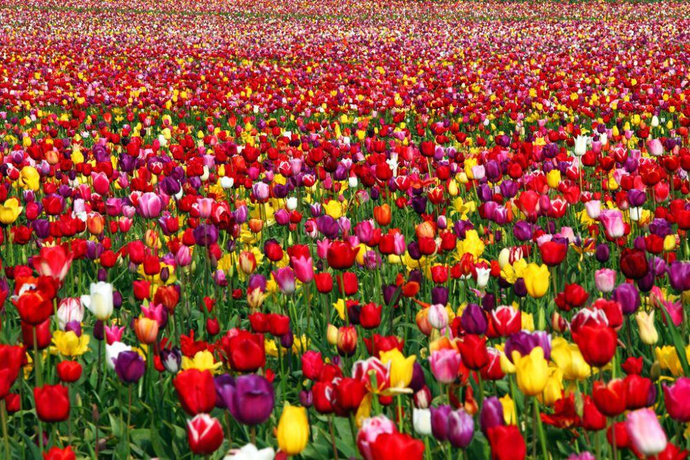 Zee van tulpen