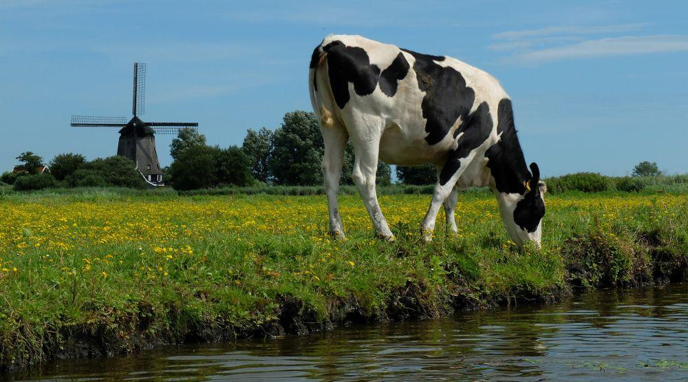 Koe in de Eilandspolder