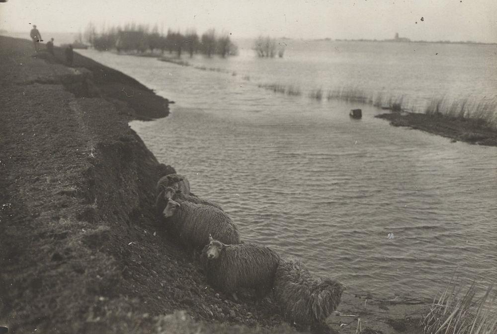 Schapen in afschuiving van de zeedijk bij Durgerdam.
