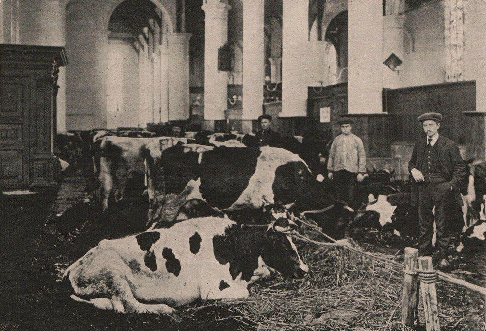 De Grote Kerk van Edam, ter beschikking gesteld voor het vee uit de omgeving.