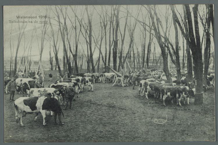 Vee bijeengedreven door militairen op een droog stuk land. De tolhuistuin was een uitspanning bij het tolhuis in Amsterdam-Noord.