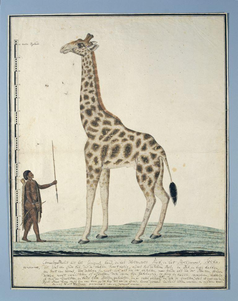 Robert Jacob Gordon, Giraf met links een Khoi, 1779. Rijksmuseum, Amsterdam.