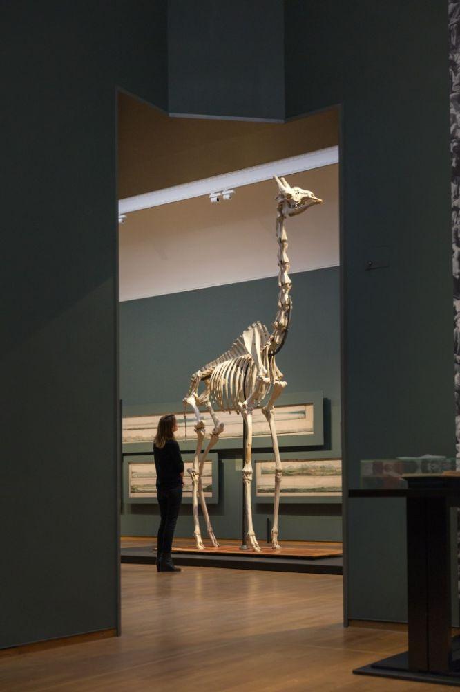 Het skelet van de giraffe die Robert Jacob Gordon liet neerschieten. Tentoonstelling Goede Hoop. Foto Rijksmuseum